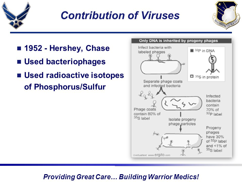 Providing Great Care… Building Warrior Medics! Contribution of Viruses 1952 - Hershey, Chase Used bacteriophages Used radioactive isotopes of Phosphor