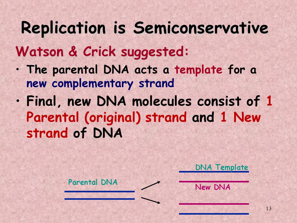 13 Replication is Semiconservative Watson & Crick suggested: TheThe parental DNA acts a template for a new complementary strand Final, new DNA molecul