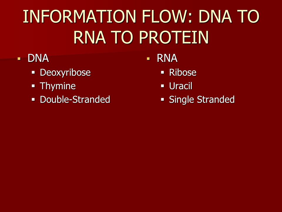INFORMATION FLOW: DNA TO RNA TO PROTEIN  DNA  Deoxyribose  Thymine  Double-Stranded  RNA  Ribose  Uracil  Single Stranded