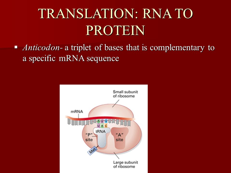 TRANSLATION: RNA TO PROTEIN  Anticodon- a triplet of bases that is complementary to a specific mRNA sequence