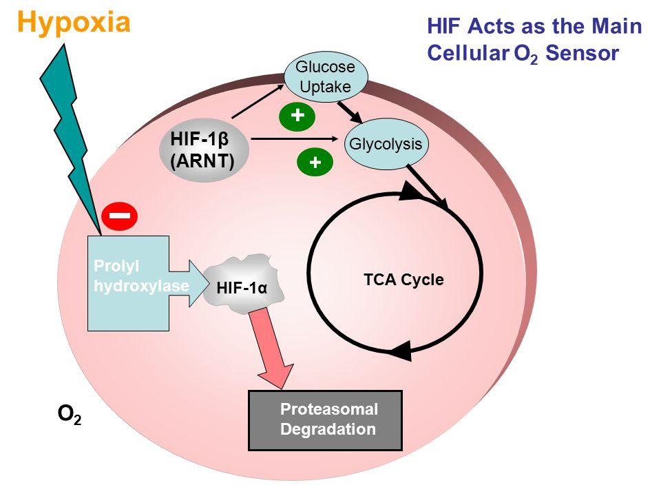 HIF-1β (ARNT) HIF-1α Hypoxia Proteasomal Degradation Prolyl hydroxylase TCA Cycle Glucose Uptake Glycolysis + + O2O2 HIF Acts as the Main Cellular O 2 Sensor