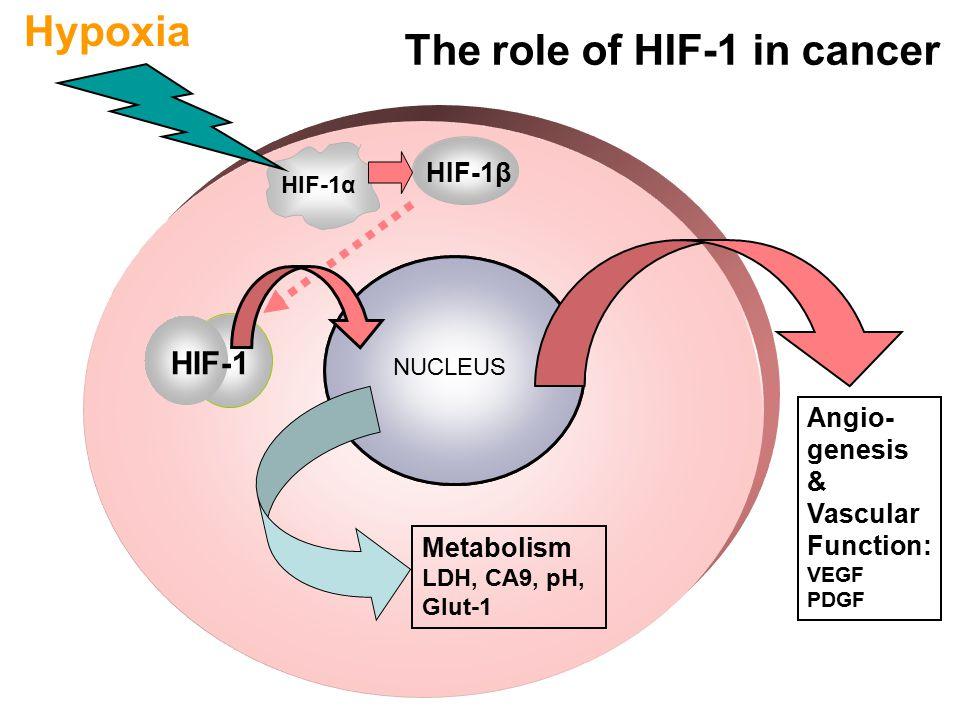 Angio- genesis & Vascular Function: VEGF PDGF HIF-1β HIF-1α Hypoxia Transcription: VEGF, PDGF, glycolytic enzymes, GLUT-1, CA IX, NOS HIF-1 Metabolism LDH, CA9, pH, Glut-1 The role of HIF-1 in cancer NUCLEUS