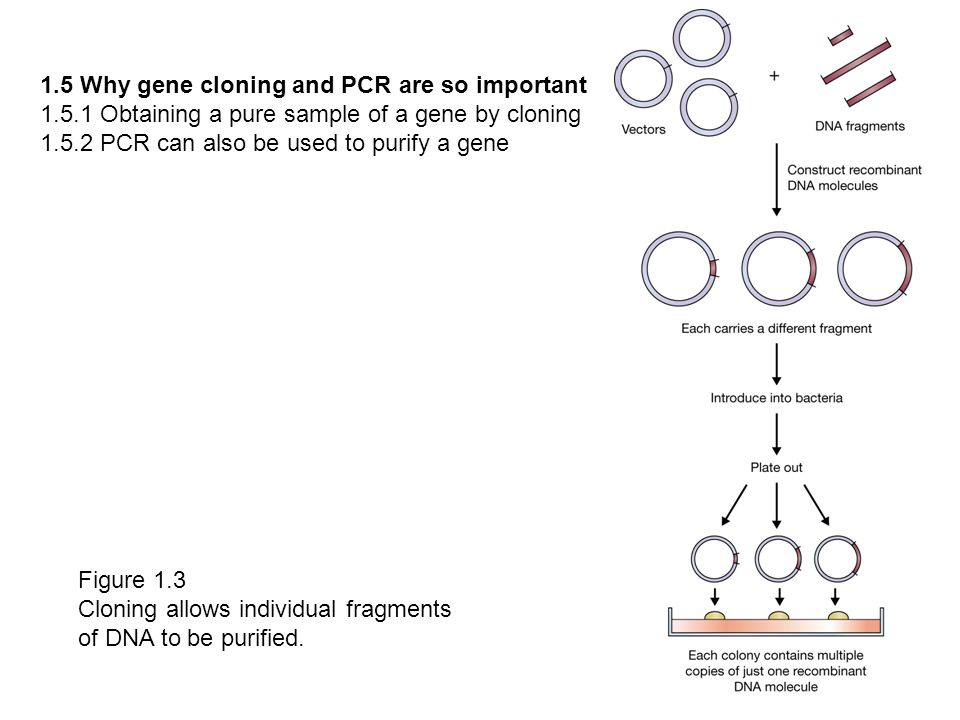 Figure 1.3 Cloning allows individual fragments of DNA to be purified. 1.5 Why gene cloning and PCR are so important 1.5.1 Obtaining a pure sample of a