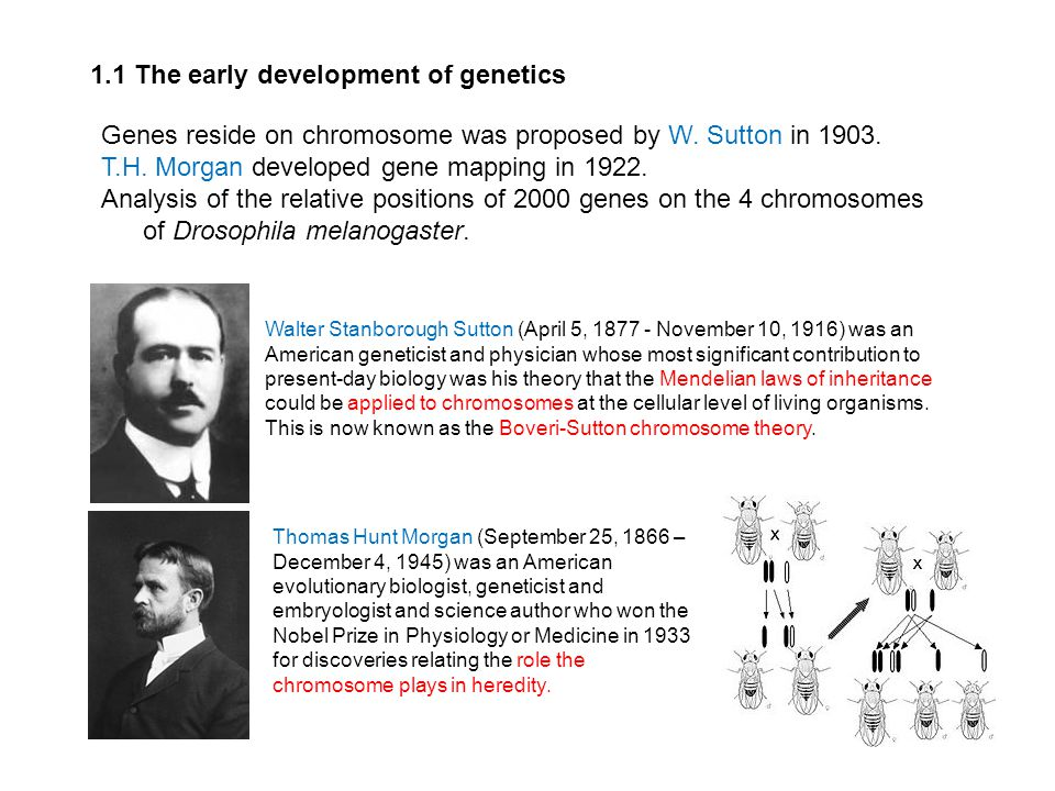 1.1 The early development of genetics Genes reside on chromosome was proposed by W. Sutton in 1903. T.H. Morgan developed gene mapping in 1922. Analys