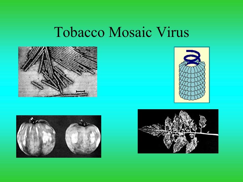 Tobacco Mosaic Virus