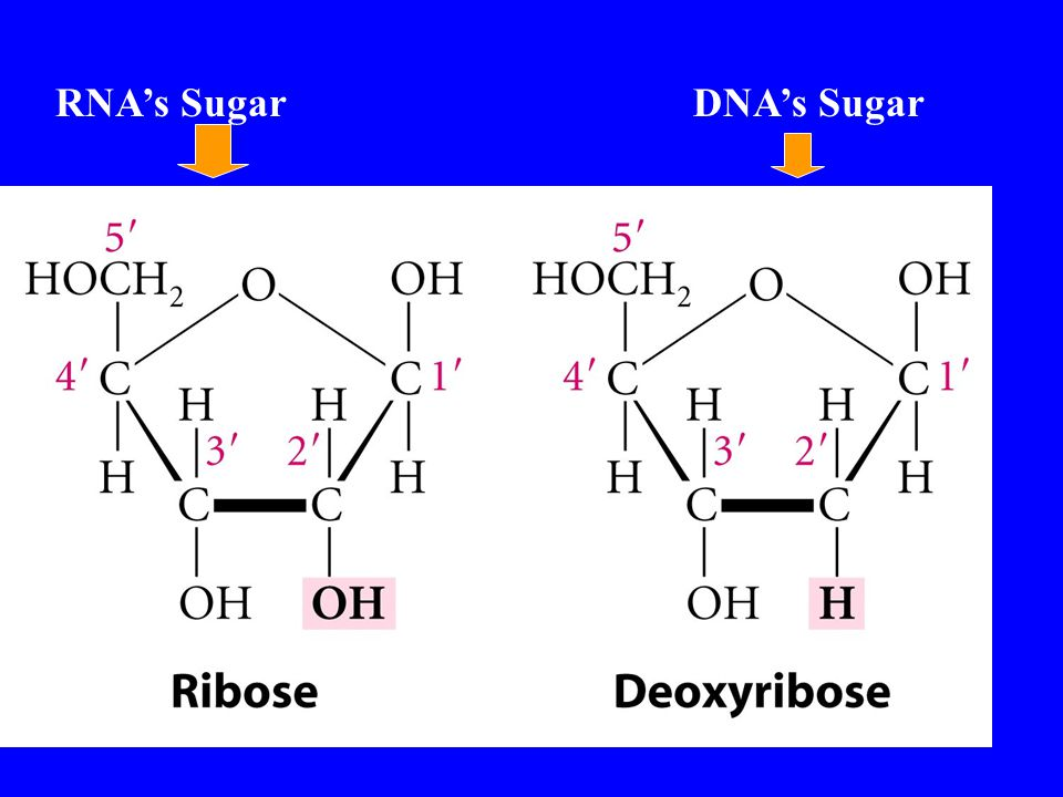 RNA's SugarDNA's Sugar