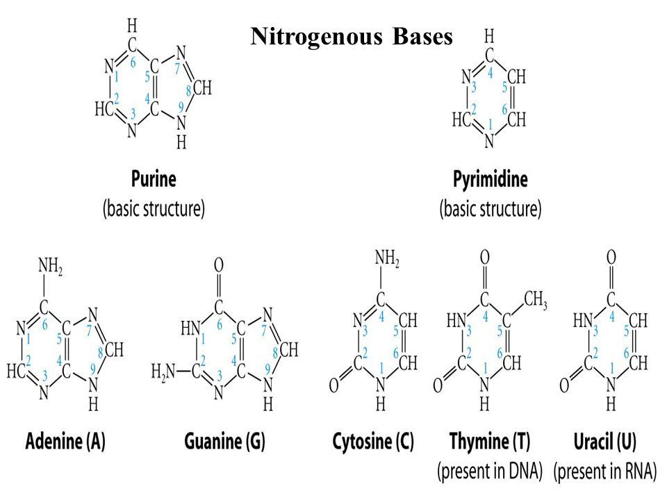 Nitrogenous Bases