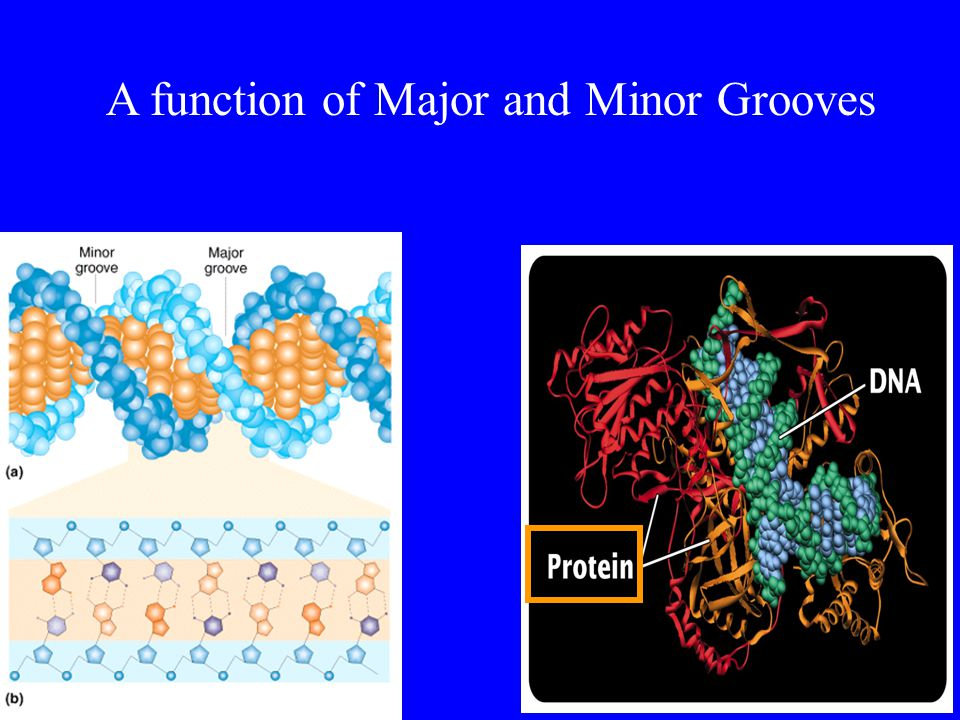 A function of Major and Minor Grooves