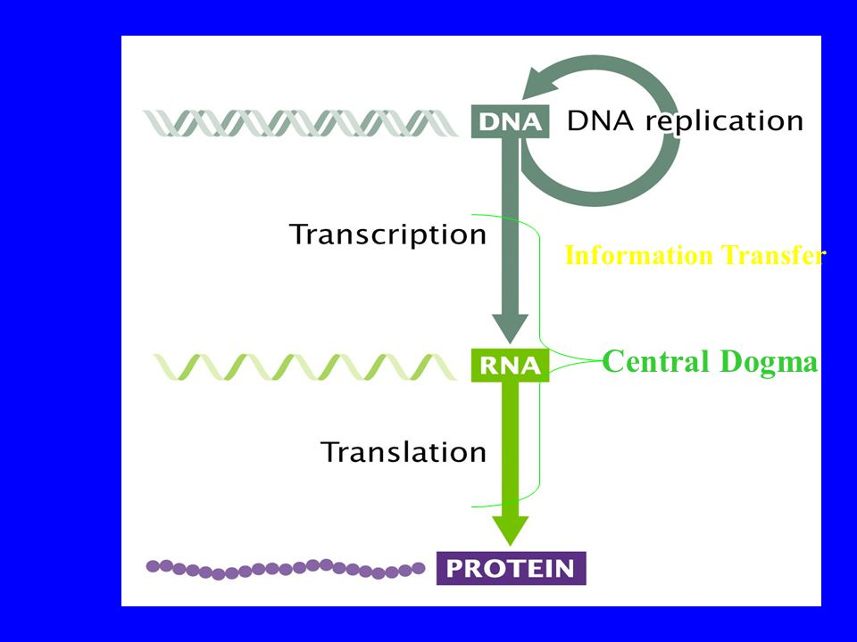Central Dogma Information Transfer