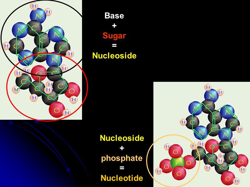 Base + Sugar = Nucleoside + phosphate = Nucleotide