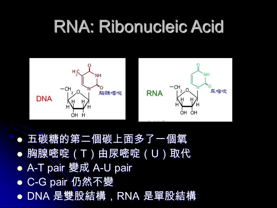 RNA: Ribonucleic Acid 五碳糖的第二個碳上面多了一個氧 五碳糖的第二個碳上面多了一個氧 胸腺嘧啶( T )由尿嘧啶( U )取代 胸腺嘧啶( T )由尿嘧啶( U )取代 A-T pair 變成 A-U pair A-T pair 變成 A-U pair C-G pair 仍然不變 C-G pair 仍然不變 DNA 是雙股結構, RNA 是單股結構 DNA 是雙股結構, RNA 是單股結構