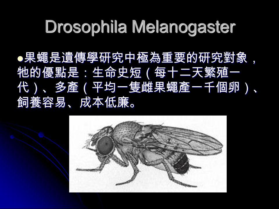 Drosophila Melanogaster 果蠅是遺傳學研究中極為重要的研究對象, 牠的優點是:生命史短(每十二天繁殖一 代)、多產(平均一隻雌果蠅產一千個卵)、 飼養容易、成本低廉。 果蠅是遺傳學研究中極為重要的研究對象, 牠的優點是:生命史短(每十二天繁殖一 代)、多產(平均一隻雌果蠅產一千個卵)、 飼養容易、成本低廉。