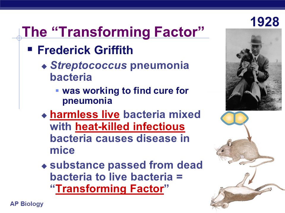 AP Biology The Transforming Factor 1928  Frederick Griffith  Streptococcus pneumonia bacteria  was working to find cure for pneumonia  harmless live bacteria mixed with heat-killed infectious bacteria causes disease in mice  substance passed from dead bacteria to live bacteria = Transforming Factor
