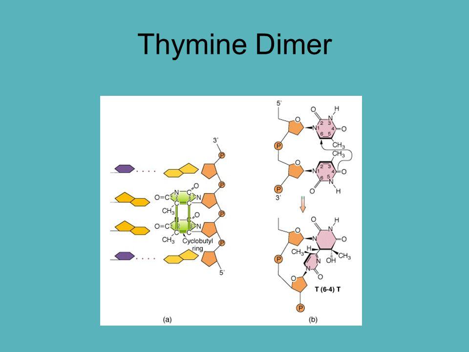 Thymine Dimer