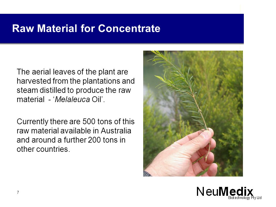 Melaleuca plantation Melaleuca alternifolia – 9 months before Harvest 8