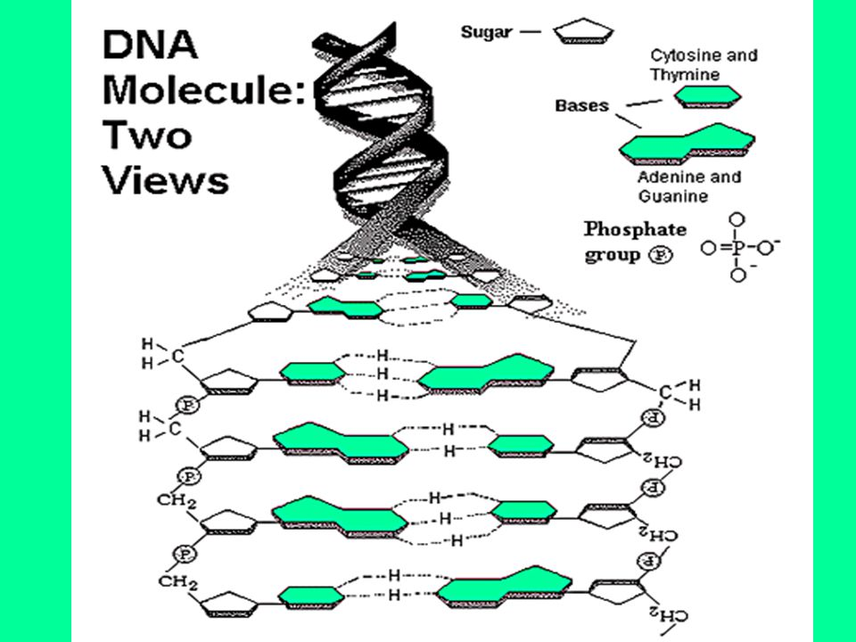 Purines and Pyrimidines make up the 4 N bases Purines- larger –Adenine and Guanine Pyrimindines- smaller –Cytosine and Thymine Pairing of the bases in the DNA structure: Chargaff's Rule (amount of A = amount of T and amount of C =amount of G A—T C—G