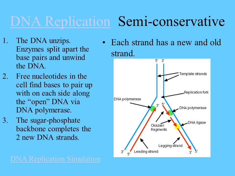 DNA ReplicationDNA Replication Semi-conservative 1.The DNA unzips. Enzymes split apart the base pairs and unwind the DNA. 2.Free nucleotides in the ce
