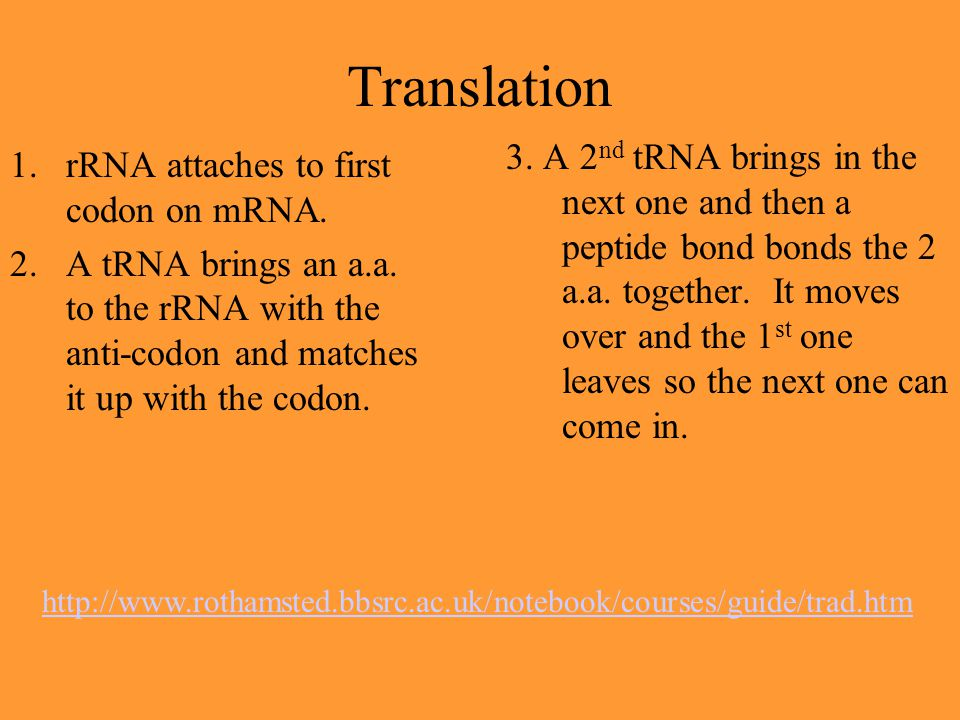 Translation 1.rRNA attaches to first codon on mRNA. 2.A tRNA brings an a.a. to the rRNA with the anti-codon and matches it up with the codon. 3. A 2 n