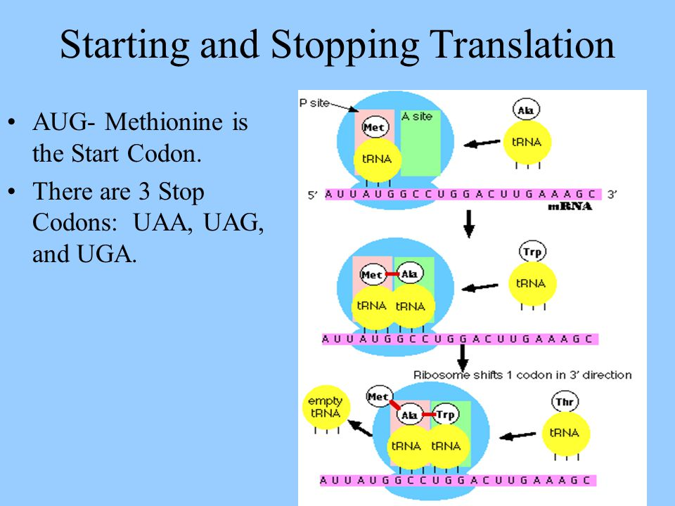 Starting and Stopping Translation AUG- Methionine is the Start Codon. There are 3 Stop Codons: UAA, UAG, and UGA.