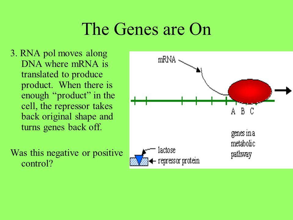 """The Genes are On 3. RNA pol moves along DNA where mRNA is translated to produce product. When there is enough """"product"""" in the cell, the repressor tak"""