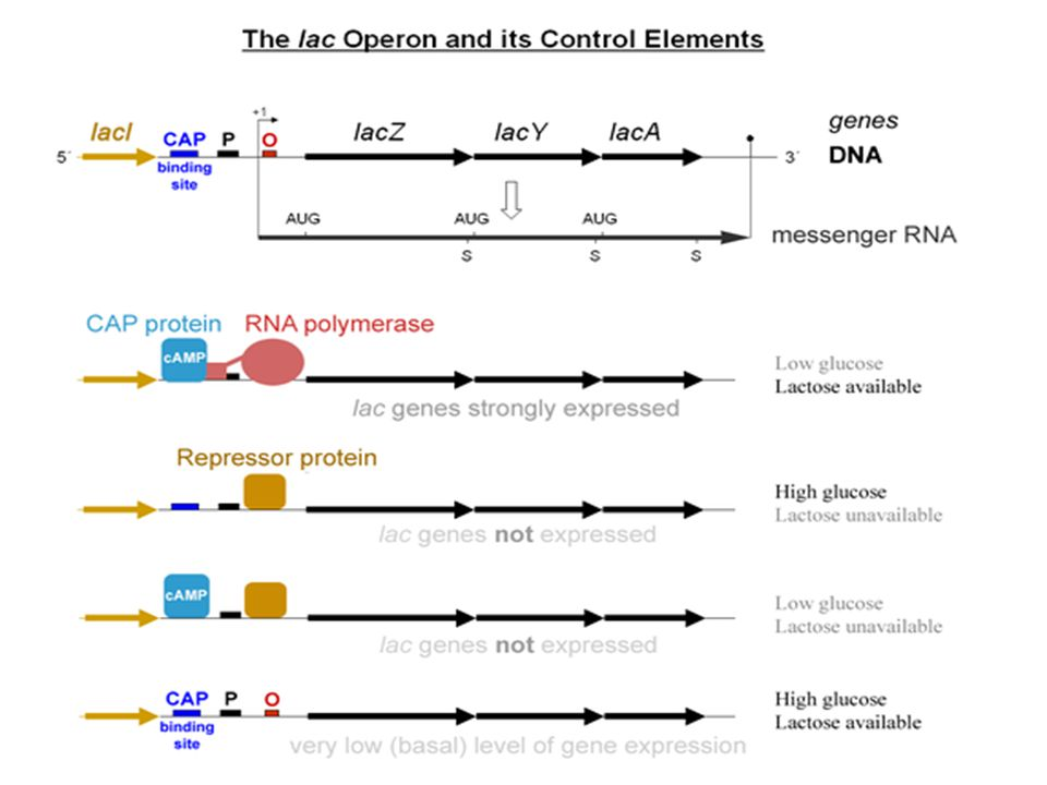 Gene Expression in Eukaryotes TATA box is about 30 bp long and helps RNA polymerase to find position by marking a point just before the point for transcription to begin.
