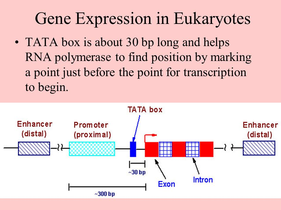 Gene Expression in Eukaryotes TATA box is about 30 bp long and helps RNA polymerase to find position by marking a point just before the point for tran