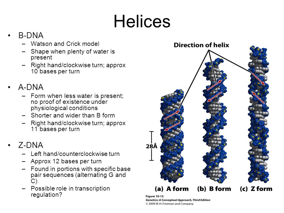 Helices B-DNA –Watson and Crick model –Shape when plenty of water is present –Right hand/clockwise turn; approx 10 bases per turn A-DNA –Form when less water is present; no proof of existence under physiological conditions –Shorter and wider than B form –Right hand/clockwise turn; approx 11 bases per turn Z-DNA –Left hand/counterclockwise turn –Approx 12 bases per turn –Found in portions with specific base pair sequences (alternating G and C) –Possible role in transcription regulation