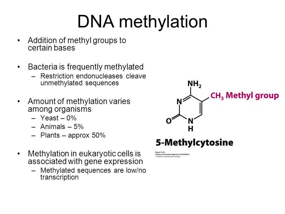 DNA methylation Addition of methyl groups to certain bases Bacteria is frequently methylated –Restriction endonucleases cleave unmethylated sequences Amount of methylation varies among organisms –Yeast – 0% –Animals – 5% –Plants – approx 50% Methylation in eukaryotic cells is associated with gene expression –Methylated sequences are low/no transcription
