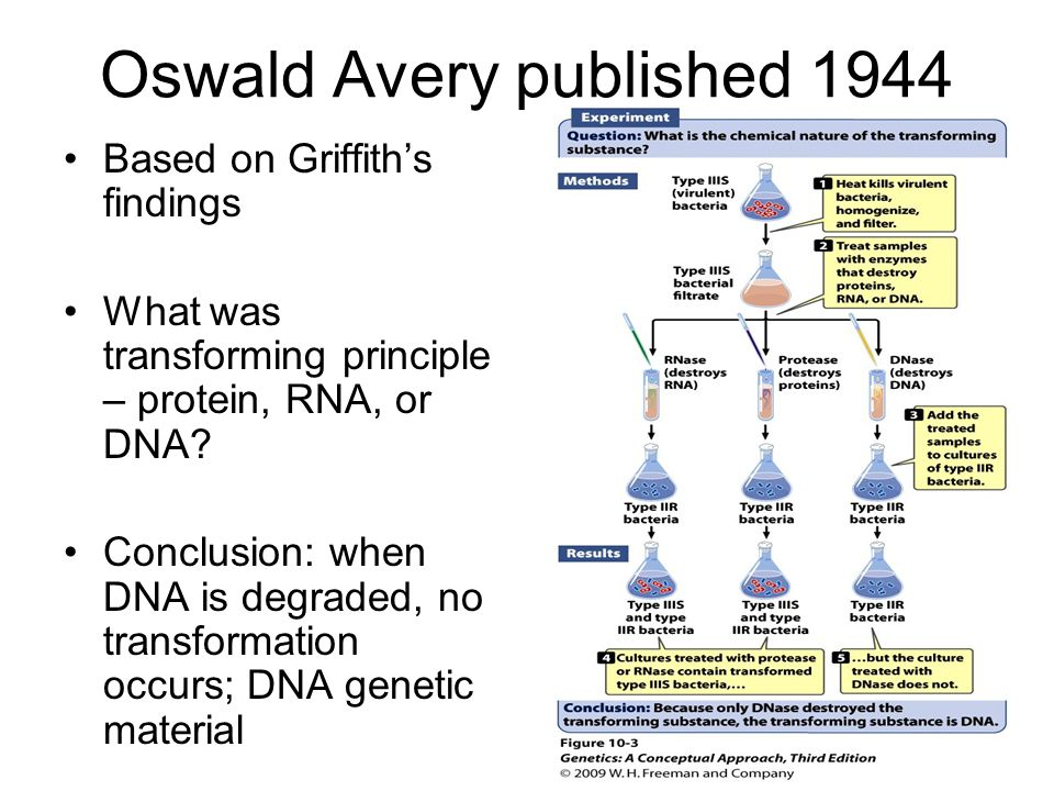 Oswald Avery published 1944 Based on Griffith's findings What was transforming principle – protein, RNA, or DNA.