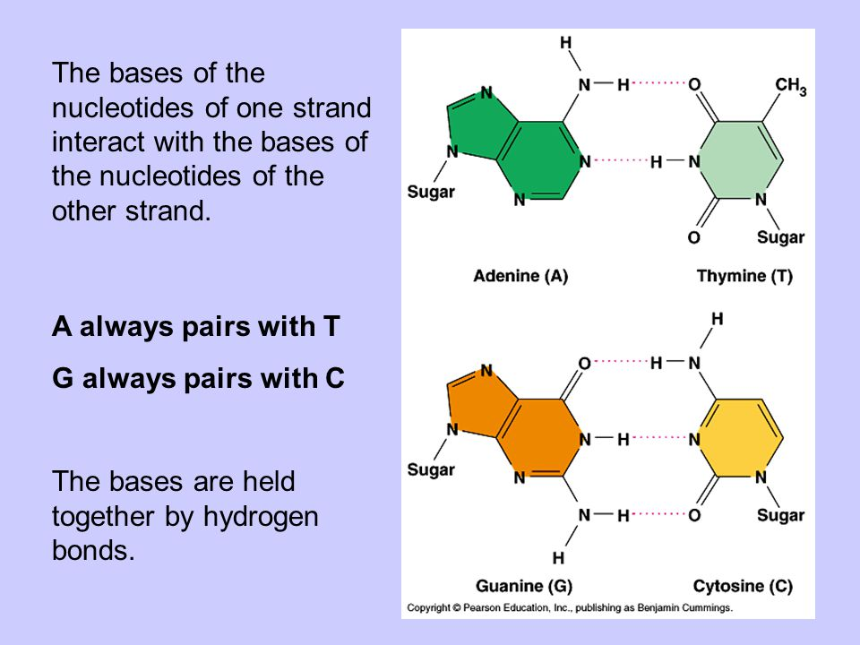 The bases of the nucleotides of one strand interact with the bases of the nucleotides of the other strand. A always pairs with T G always pairs with C