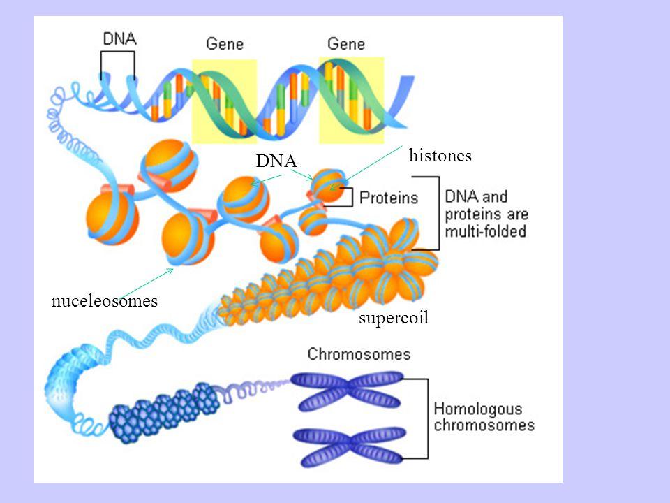 nuceleosomes histones supercoil DNA