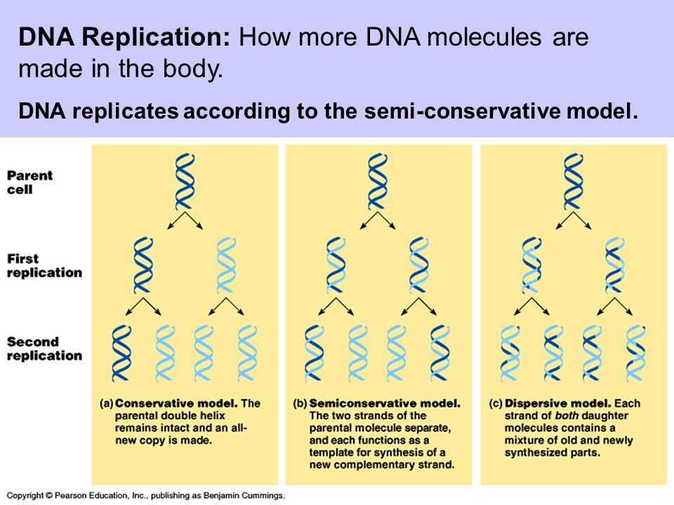 DNA Replication: How more DNA molecules are made in the body. DNA replicates according to the semi-conservative model.