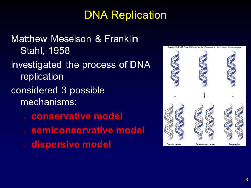 16 DNA Replication Matthew Meselson & Franklin Stahl, 1958 investigated the process of DNA replication considered 3 possible mechanisms: – conservative model – semiconservative model – dispersive model