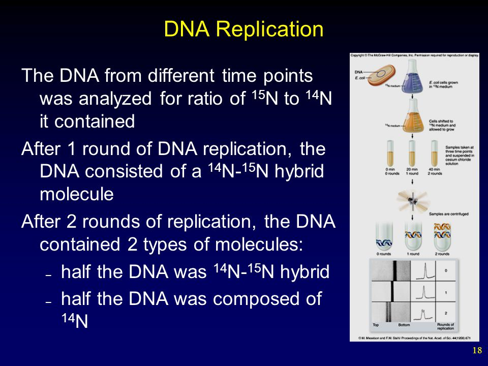 18 DNA Replication The DNA from different time points was analyzed for ratio of 15 N to 14 N it contained After 1 round of DNA replication, the DNA consisted of a 14 N- 15 N hybrid molecule After 2 rounds of replication, the DNA contained 2 types of molecules: – half the DNA was 14 N- 15 N hybrid – half the DNA was composed of 14 N