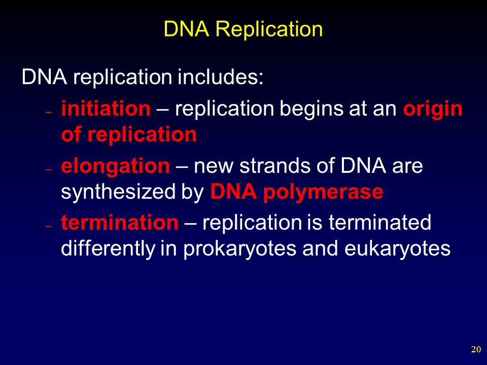 20 DNA Replication DNA replication includes: – initiation – replication begins at an origin of replication – elongation – new strands of DNA are synthesized by DNA polymerase – termination – replication is terminated differently in prokaryotes and eukaryotes