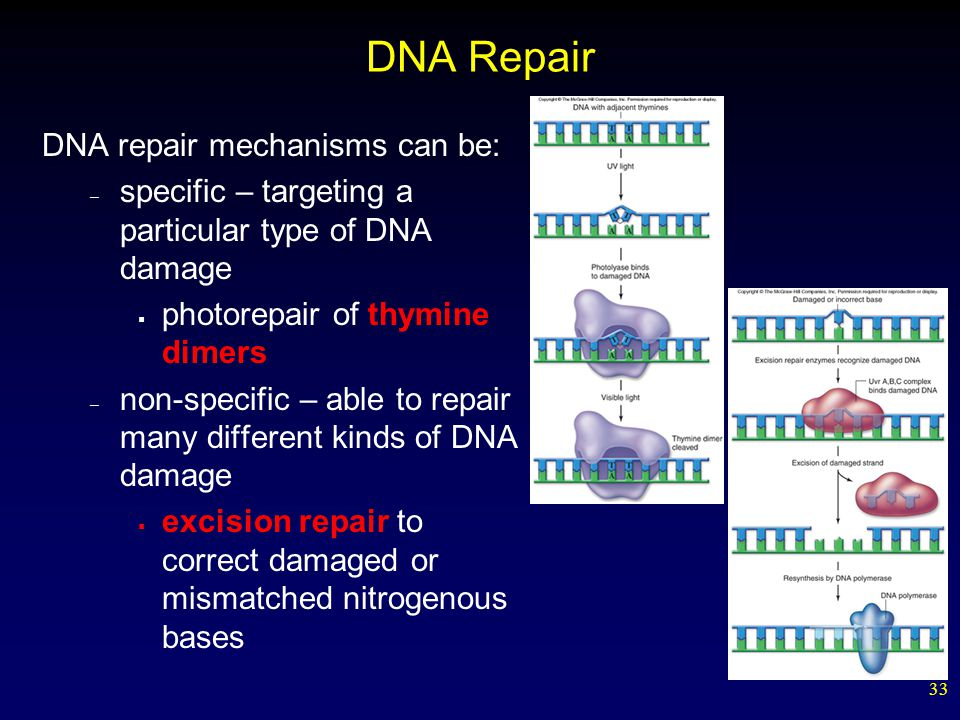 33 DNA Repair DNA repair mechanisms can be: – specific – targeting a particular type of DNA damage  photorepair of thymine dimers – non-specific – able to repair many different kinds of DNA damage  excision repair to correct damaged or mismatched nitrogenous bases