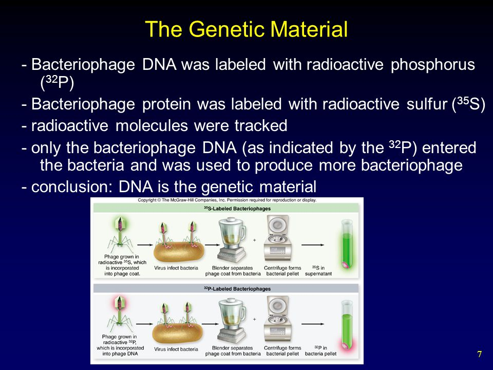 7 The Genetic Material - Bacteriophage DNA was labeled with radioactive phosphorus ( 32 P) - Bacteriophage protein was labeled with radioactive sulfur ( 35 S) - radioactive molecules were tracked - only the bacteriophage DNA (as indicated by the 32 P) entered the bacteria and was used to produce more bacteriophage - conclusion: DNA is the genetic material