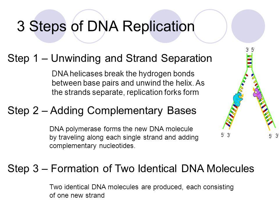 Prokaryotic and Eukaryotic Replication Prokaryotes have circular DNA Replication occurs at one site, producing 2 replication forks and proceeds in opposite directions Eukaryotes have linear DNA Replication occurs at many sites, producing 2 replication forks and proceeds in opposite directions.