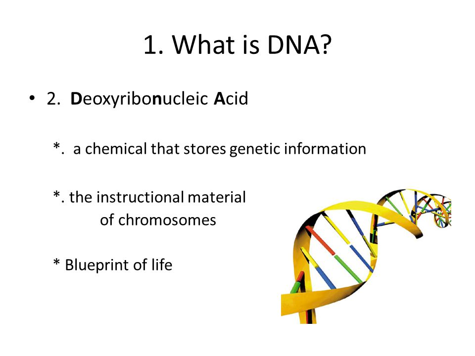 1. What is DNA. 2. Deoxyribonucleic Acid *. a chemical that stores genetic information *.