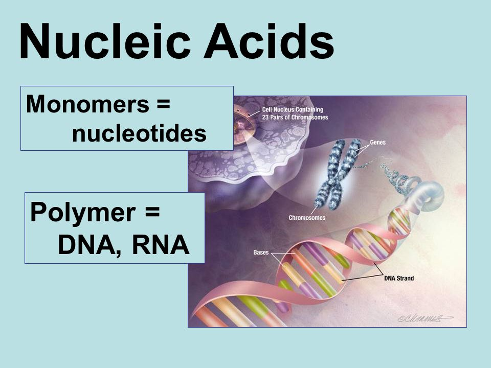 Nucleic Acids Monomers = nucleotides Polymer = DNA, RNA