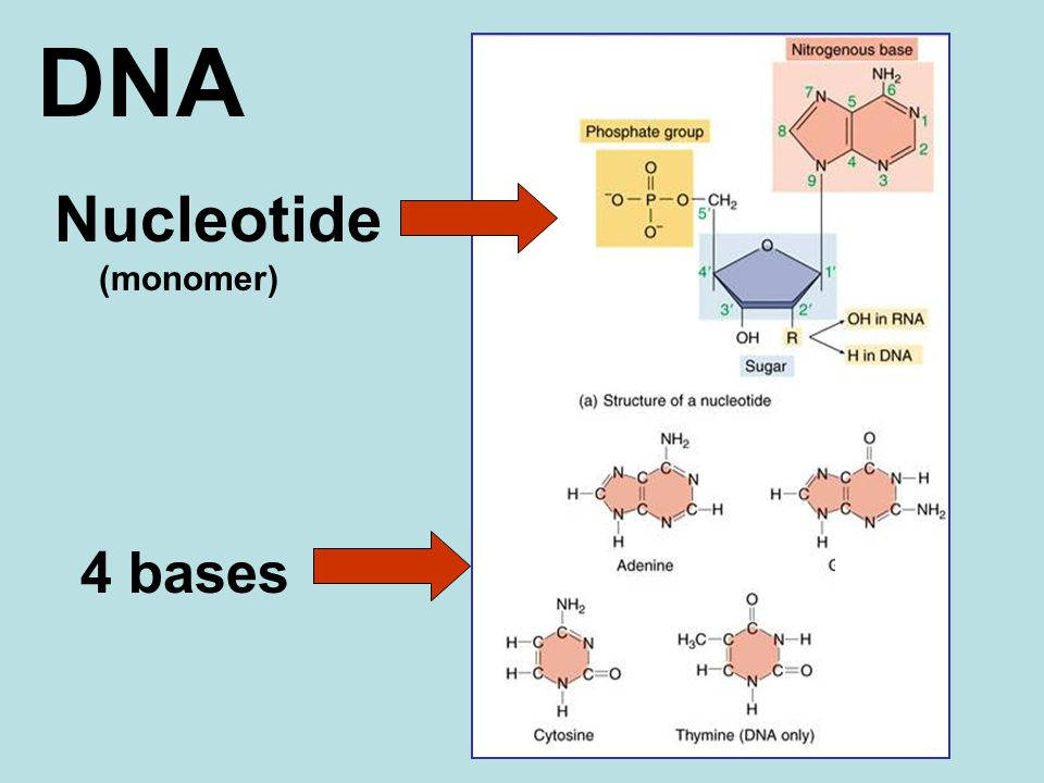 DNA Nucleotide (monomer) 4 bases