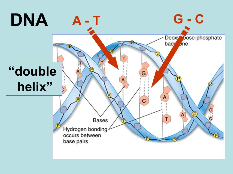 """DNA """"double helix"""" A - T G - C"""
