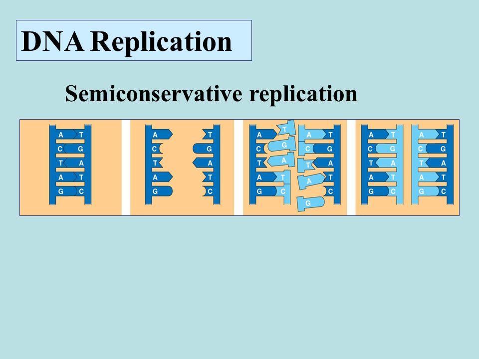 Semiconservative replication