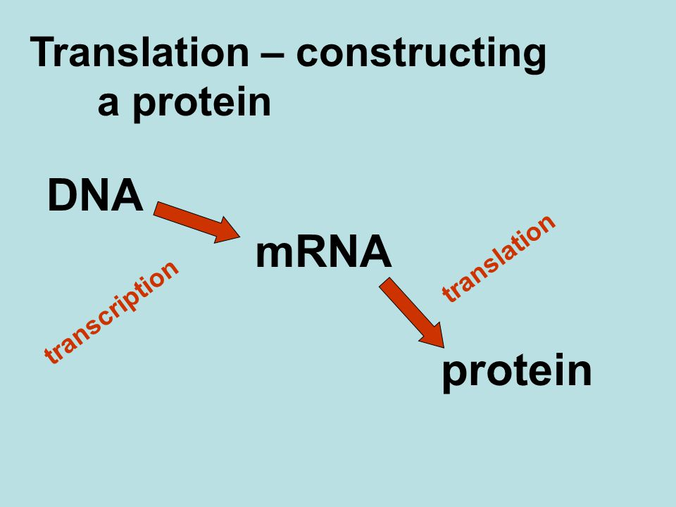 Translation – constructing a protein DNA mRNA protein transcription translation
