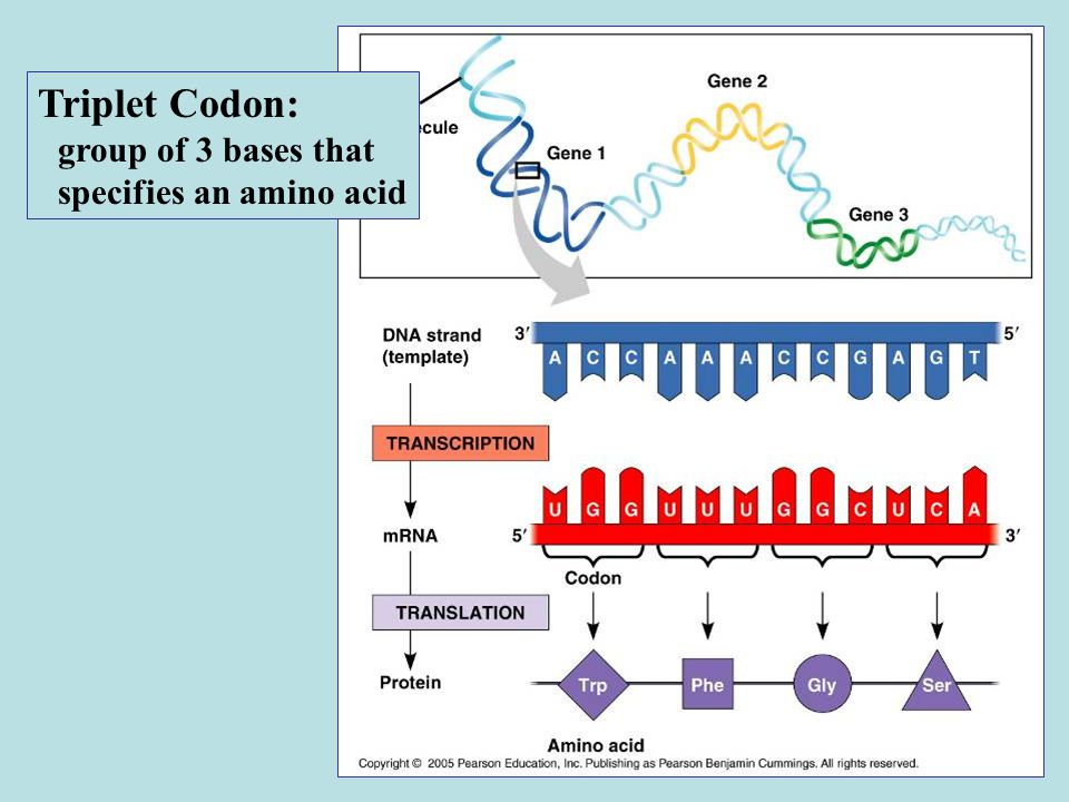 Triplet Codon: group of 3 bases that specifies an amino acid