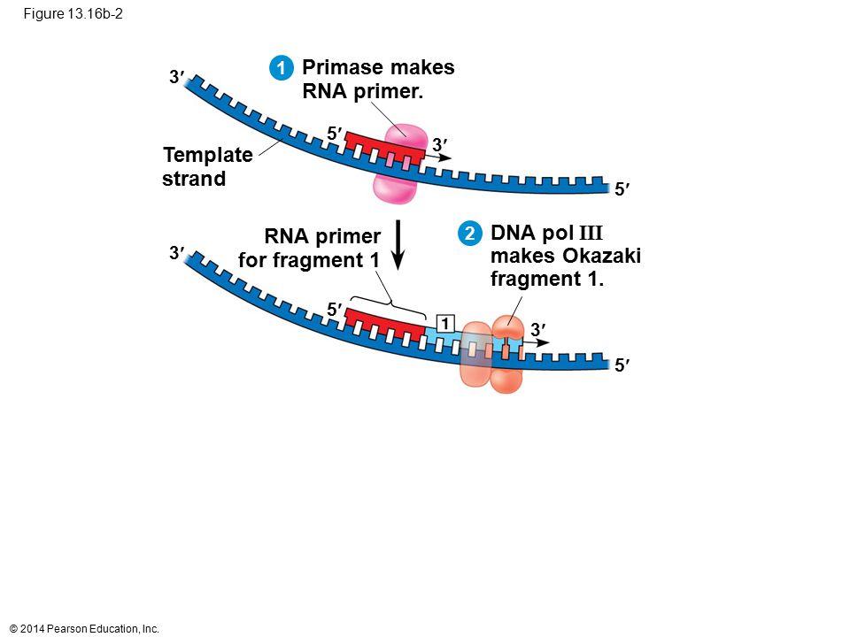 © 2014 Pearson Education, Inc. Figure 13.16b-2 5 3 5 3 Primase makes RNA primer. RNA primer for fragment 1 Template strand DNA pol III makes Okazaki f