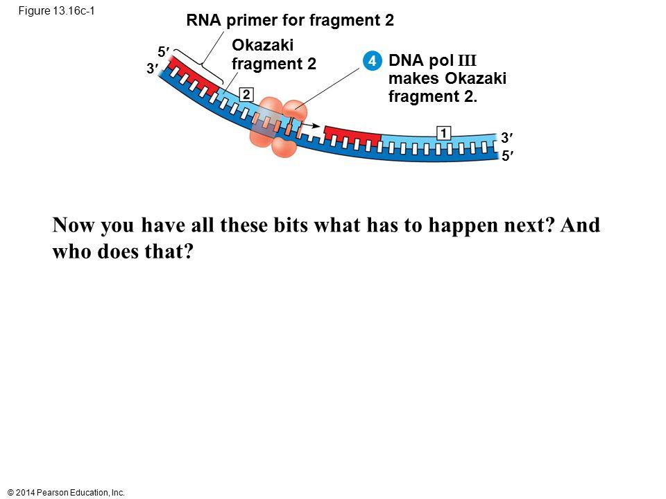 © 2014 Pearson Education, Inc. Figure 13.16c-1 RNA primer for fragment 2 Okazaki fragment 2 DNA pol III makes Okazaki fragment 2. 5 3 5 3 4 Now you ha