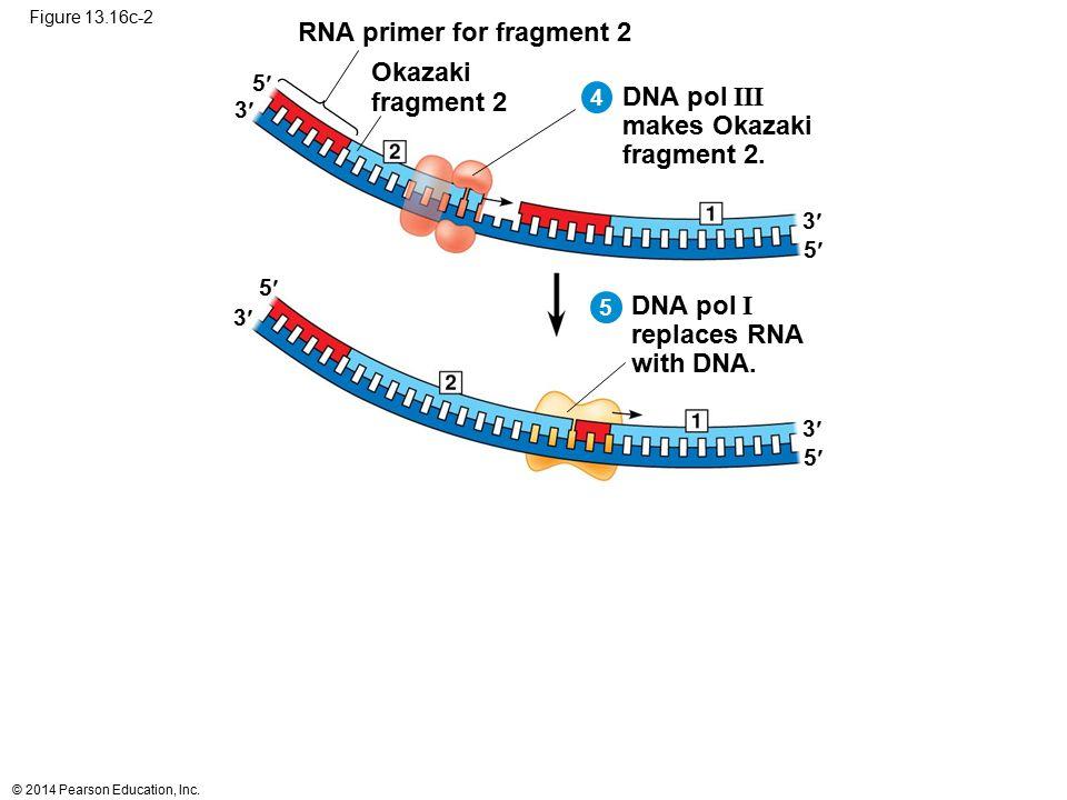 © 2014 Pearson Education, Inc. Figure 13.16c-2 RNA primer for fragment 2 Okazaki fragment 2 DNA pol III makes Okazaki fragment 2. DNA pol I replaces R