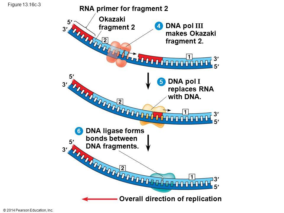 © 2014 Pearson Education, Inc. Figure 13.16c-3 RNA primer for fragment 2 Okazaki fragment 2 DNA pol III makes Okazaki fragment 2. Overall direction of