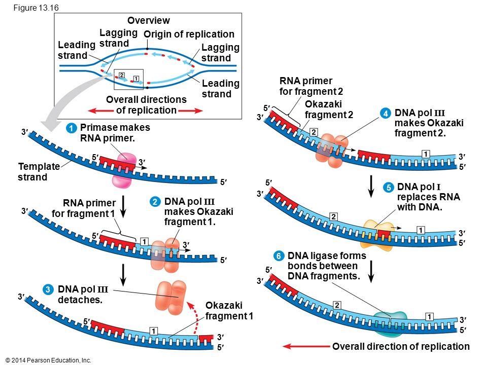 © 2014 Pearson Education, Inc. Figure 13.16 5 3 5 3 Origin of replication Lagging strand Lagging strand Overall directions of replication Leading stra